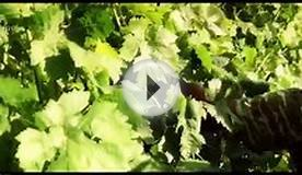 Springtime in Lyrarakis Vineyard Crete Greece